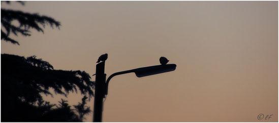 Zwei Waldtauben begrüßen am frühen Morgen den Tag