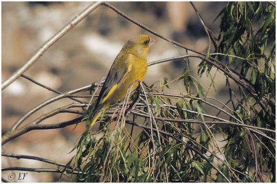 Ein Grünfink auf einer Birke