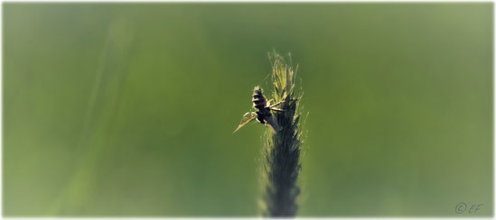 Seltsame Schlafgewohnheiten: Eine am frühen Morgen schlafende Harzbiene, sie hängt kopfüber am Ende eines Grases