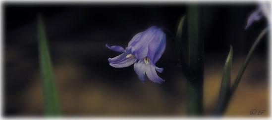 Eine Blaue Glockenblume