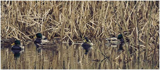Eine Stockentengruppe auf einem Teich schwimmend im Schilf versteckt