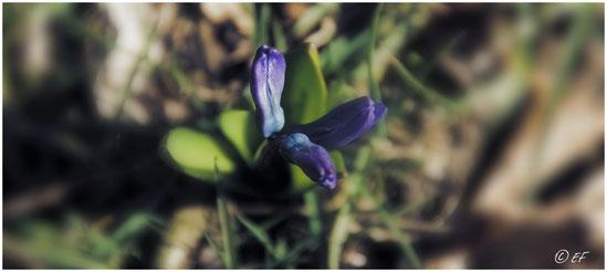 Die geschlossenen Blüten eines Blauen Sternchens