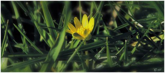 Die Blüte des Scharbockskrauts umgeben von Tropfen