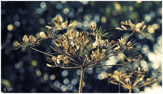 Die Samen der Wilden Möhre im Sonnenlicht