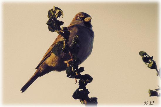 Ein Sperling genießt die Morgensonne