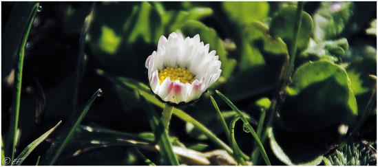 Das Gänseblümchen