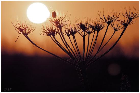 Verdorrte Wilde Möhre bei Sonnenaufgang
