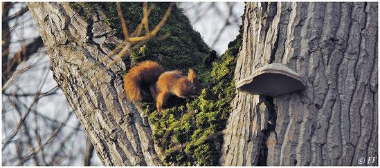 Ein aus der Winterruhe erwachtes Eichhörnchen auf der Suche nach Futter