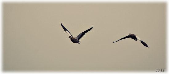 Die Nilgänse & ihr Flug