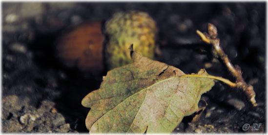 Das Eichenblatt & die Eichel