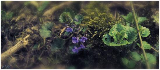Die Blüten des Gundermanns