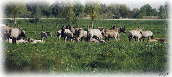 Nur wenige Kilometer vom Selfkant entfernt: Die wilden Pferde im Naturpark Maas-Schwalm-Nette