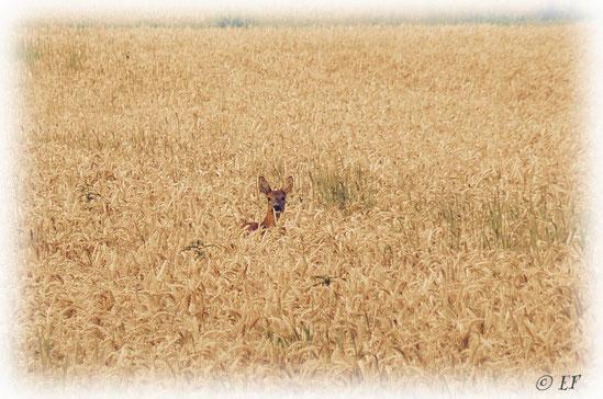 Ein Reh mitten im Weizenfeld