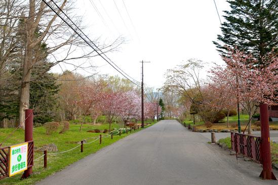 マット総合管理有限会社 ブログ 緑の村 桜並木