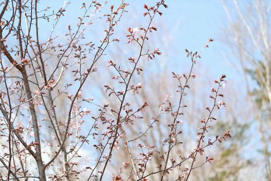 マット総合管理有限会社 ブログ 大沼湖畔の桜