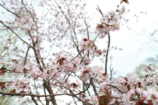 マット総合管理有限会社 ブログ 緑の村 桜