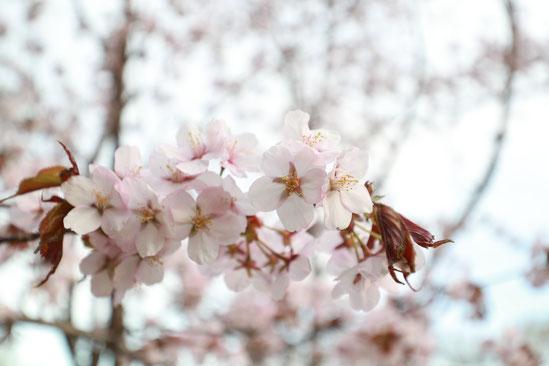 マット総合管理有限会社 ブログ 緑の村内 桜