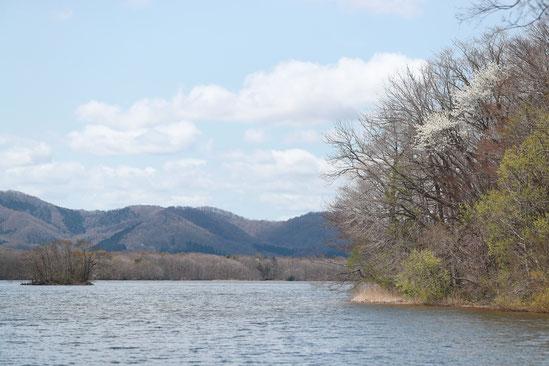 マット総合管理有限会社 ブログ 大沼湖畔のキタコブシ