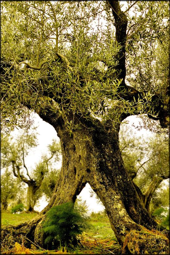 Methusalem der Olivenbäume (Lago Trasimeno (Umbrien / Italien), April 2010)