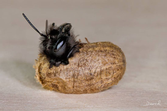 solitary bee wild bee insect nesting aid insect hotel hornfaced mason bee  hatch chrysalis cocoon