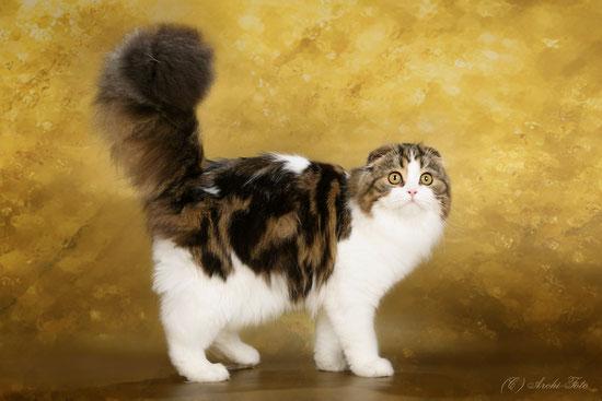 Кошка хайленд-страйт, голубая серебристая мраморная с белым, highland fold female