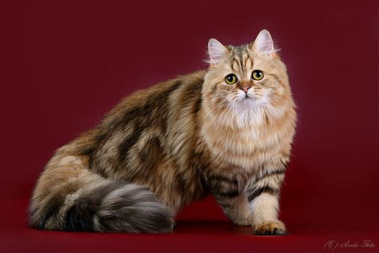 Кошка хайленд страйт, черная мраморная золотистая , highland straight female