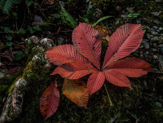 とちのきの紅葉は一足早く・・・素敵な秋の訪れです。今週末晴れますように…