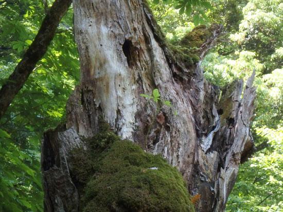 枯れた木から、トチが芽吹く。こうしてひとつの大きな命が脈々と受け継がれていく不思議。