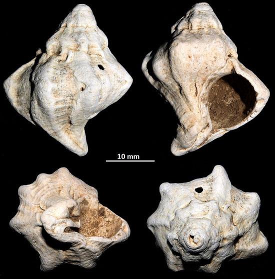 Hexaplex pecchiolanus, Macchia della Turchina (Monteromano, VT)