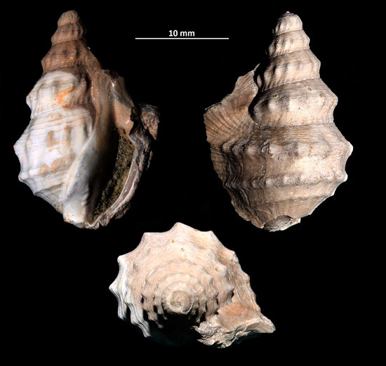 Aporrhais pespelcani, esemplare incompleto da Vignola (MO)