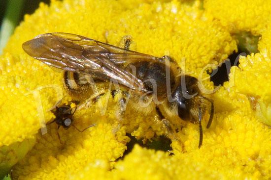 Bild: Weibchen der Gelbbindigen Furchenbiene, Halictus scabiosae, auf dem Rainfarn