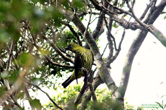 Three-wattled Bellbird, juvenile male.