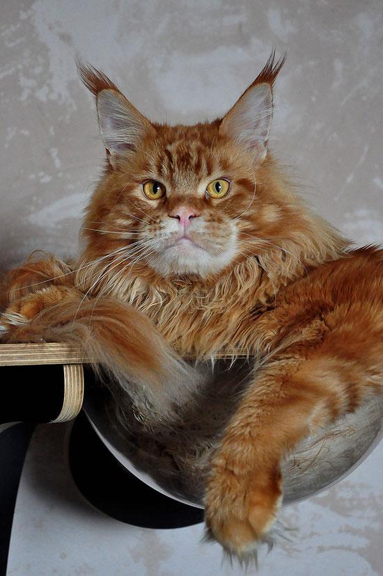 Dior SharmMuar кот мейн кун красный мраморный d 22