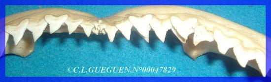 Détails de ses dents, admirablement fabriquées en Bijouterie-Joaillerie...