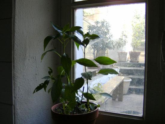 """Mes """" Pieds de Piments Martin """" repiqués par deux et rentrés dans la cuisine car les températures baissent même ici dans le Sud de la France, attention aux gelées pour ces plants!!!"""