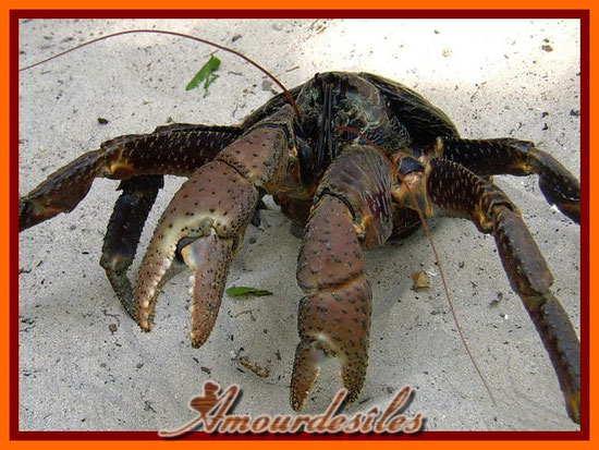 Crabe cocotier