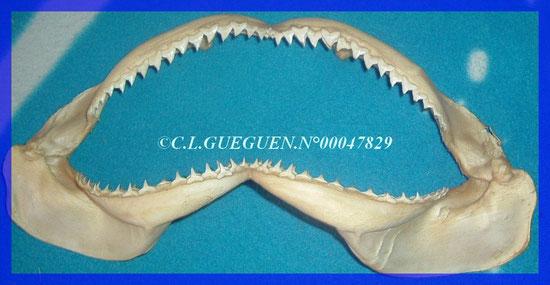 Petite mâchoire de requin blanc...
