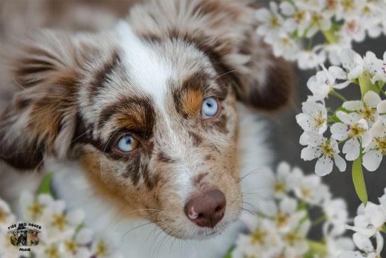 Miniature Australian Shepherd Welpen Züchter Mini Aussie