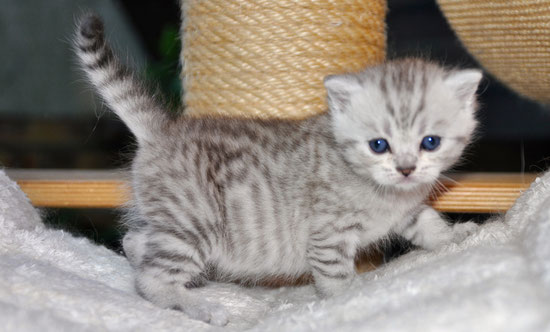 Male shorthair chocolat silver spotted tabby