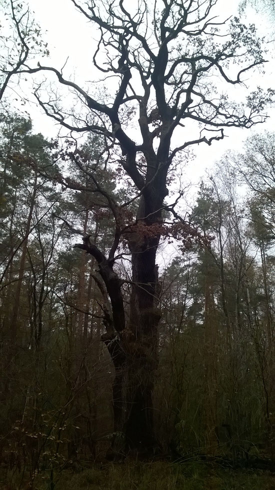 Eiche in der Mosigkauer Heide bei Dessau