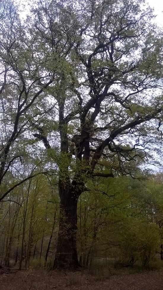Eiche in den Elbauen bei Dessau im Rüsterhau