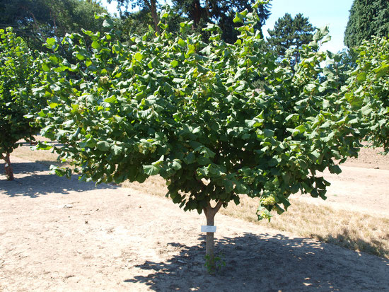 Five year old Yamhill tree