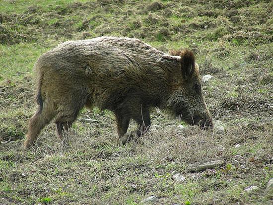 Wildschwein,   © Mag. Angelika Ficenc