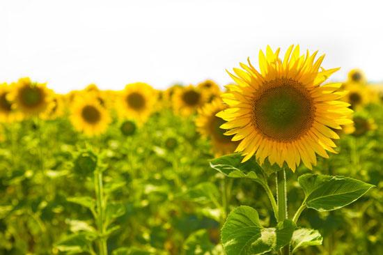 Die Sonnenblume (Helianthus annuus)