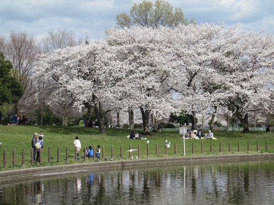 県民健康福祉村の桜と池