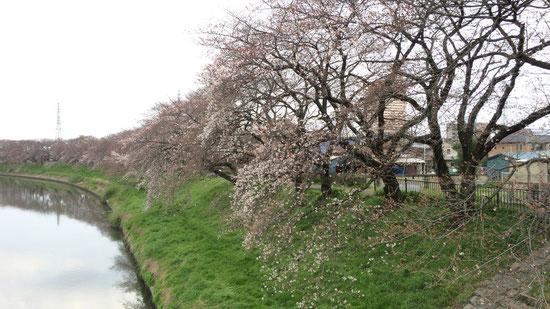 しかし文教大学付近は全体的に見ても花が見えます。