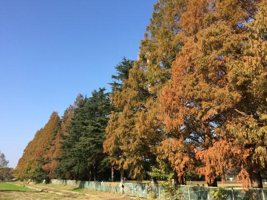 越谷 鴨場近く迄来ました~緑と紅葉のグラデーションが綺麗です。