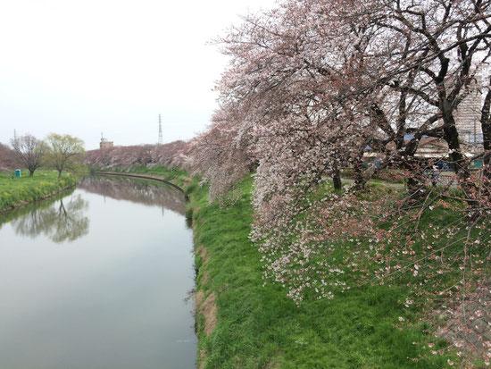 明らかに桜らしくなってきました。週末が楽しみですね♪