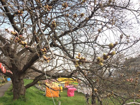 神明橋に1番近い桜の木 3月25日 午前11時頃撮影