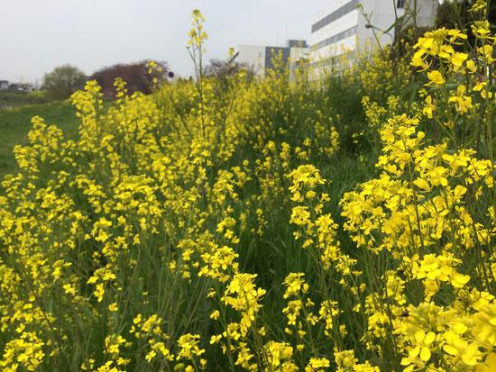 菜の花も見頃です。文教大学前周辺